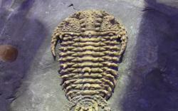 Museo trilobites 2